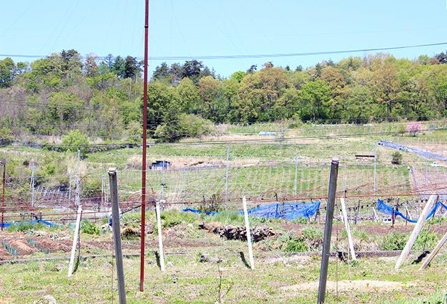 南向きの斜面で栽培されているドメーヌ・ナカジマのぶどう。